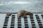 У центрі Києва скажений щур покусав жінку