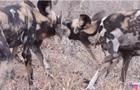 Жадно терзающие добычу собаки попали на видео