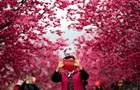 У Китаї масово зацвіла сакура