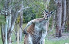 У Данії поліція оголосила в розшук кенгуру