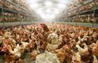 Десятки тисяч курчат згоріли на птахофермі в Японії