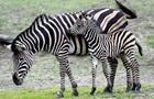 Раскрыт секрет полос у зебры