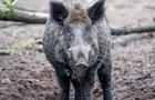 На Донбасі зафіксували африканську чуму свиней