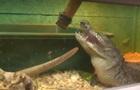 В Виннице работает крокодиловая ферма