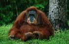 В Індонезії самка орангутанга вижила після 74 кульових поранень