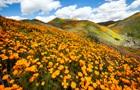 Біля Лос-Анджелеса зацвіли поля помаранчевих маків