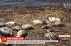 У Кіровоградській області через свиней масово гине риба - ЗМІ