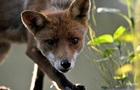У Харкові зняли зайняту прогулянкою містом лисицю