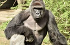Мужчина снял позирующих для селфи горилл