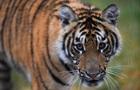 Амурський тигр випадково зробив  селфі