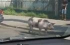 У Вінниці свиня втекла з причепа авто посеред дороги