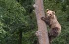 Ведмідь місяць  зберігав  пораненого чоловіка як запасну їжу