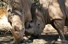 Вчені з Кенії зберегли яйцеклітини білого носорога, який вимирає