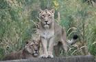 Левів, які вільно гуляють містом, зняли в Індії