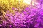 На Черниговщине  наркофермер  выращивал коноплю и грибы