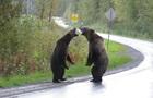 Сутичку двох ведмедів грізлі зняли на відео