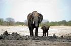 У Зімбабве через голод загинули 55 слонів