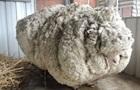 Найвідоміша вівця померла в Австралії