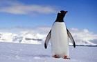 Вчені знайшли гігантського скам янілого пінгвіна