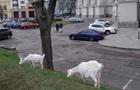У центрі Києва під міністерством паслися кози