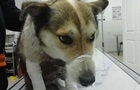 У Хмельницькому чиновник прив язав собаку до машини і протягнув 1,5 км