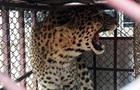 В Непале леопарды терроризируют целую деревню