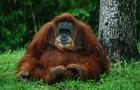 Біологам вдалося розшифрувати мову орангутангів