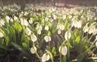 На Черкасчине расцвели гектары редких подснежников