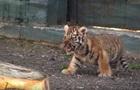 Одесский зоопарк показал первую прогулку тигренка