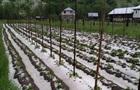Весенний град уничтожил урожай на Закарпатье