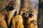 Мавпи відібрали у медика зразки крові пацієнтів з COVID-19