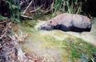 Купание редкого носорога сняли на видео