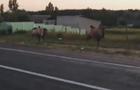 У Харкові верблюди гуляли вулицею