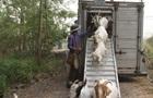 Рятувати жителів штату Орегон від пожеж будуть кози