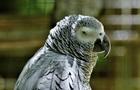У Британії папуг ізолювали через лихослів я