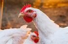 На гормонах? Почему фабричные курицы больше домашних