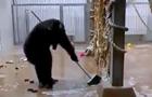 У Талліні шимпанзе помив вікна і підлогу вольєра