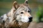 Прикарпатье терроризируют голодные волки