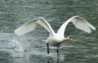 Установлена причина гибели лебедей в Херсонской области