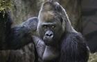 Вчені з ясували, навіщо горили б ють себе в груди