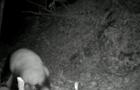 Драка двух панд попала на камеры наблюдения