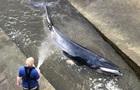 У Лондоні кит застряг на річці Темза