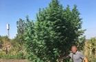 В Николаевской области полиция изъяла кусты 3,5-метровой конопли