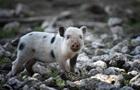 В Швеции военные компенсируют моральный ущерб свиньям