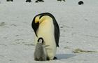 Вчені розшифрували говір африканських пінгвінів