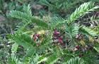 Пахнет коньяком и похож на виноград: в ботсаду Днепра собирают урожай