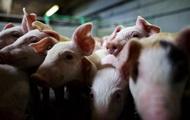 Чуму свиней зафиксировали в Ровенской области