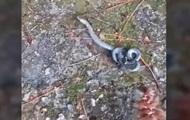 В Сети показали видео с двухголовой змеей