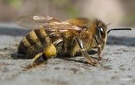 Украина поможет Канаде восстановить популяцию пчел
