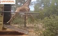 Выпущенный на волю жираф упал из-за спешки